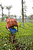 Tea picker with 20 kg tea leaves on her head, walking between tea trees, that are harvested every 20 days above 10 km west Valparai, Tamil Nadu, Western Ghats, India