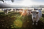 France, Auvergne, Charolais cattle herd in field