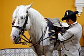 The Royal Andalusian School of Equestrian Art, Preparation of an horse to be ridden, Jerez, Spain