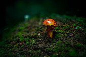 Close up of mushroom growing in dark forest