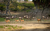 Animal herd in Selous Nature Reserve, Tanzania, Africa