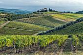 Vines growing in rural vineyard