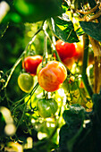 Close up of tomatoes growing on vines