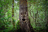 Face growing on tree in lush forest
