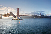 Seagull flying over ocean and Golden Gate Bridge, San Francisco, California, United States