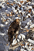 Red-tailed hawk (Buteo jamaicensis) juvenile in a snow-covered tree, Bosque del Apache National Wildlife Refuge, New Mexico, United States of America, North America