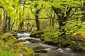 River Fowey running through verdant spring woodland at Golitha Falls on Bodmin Moor, Cornwall, England, United Kingdom, Europe
