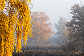 Birch tree in autumn colors with glowing, yellow leaves, with ground fog and ground frost, illuminated by the rising sun - Linum in Brandenburg, north of Berlin, Germany