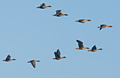Flock of gray geese flying in formation under the blue sky - Linum in Brandenburg, north of Berlin, Germany