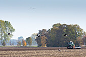 Tractor plowing cornfield, cranes flying and eating leftovers from the cornfield - Linum in Brandenburg, north of Berlin, Germany