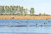 Group gray geese taking off from a lake and flying away, Linum in Brandenburg, north of Berlin, Germany