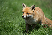 Red fox (Vulpes vulpes), Devon, England, United Kingdom, Europe