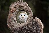 Barn owl (Tyto alba), Herefordshire, England, United Kingdom, Europe