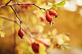 Golden autumn with rose hips in Schnalstal, South Tyrol, Italy