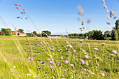 Flowery meadow along the river Elbe in Summer, family bicycle tour along the river Elbe, adventure, from Torgau to Riesa, Saxony, Germany