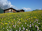 Blooming alpine meadow on Seiser Alp, Schlern, Dolomites, South Tyrol, Italy