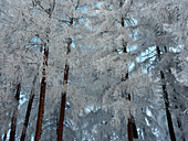 Frozen larches in Wipptal, Tuxer Alps, Tyrol, Austria