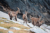 Capricorns at the Passo Ombretta, Marmolada, Dolomites, South Tyrol, Italy
