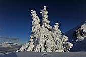 Deep snowy tree near Birgitzkoepfel, Stubai Alps, view to the Unterinntal, Tyrol, Austria