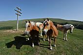 Haflinger horses on top of Progles, Geisler range, Dolomites, South Tyrol, Italy
