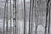 Snowy trees in Viennese Woods, Lower Austria, Austria