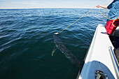 Blue shark caught with a rope off a fishing boat, Massachusetts, United States of America