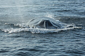 Humpback whale Megaptera novaeangliae at the surface of the water, Massachusetts, United States of America