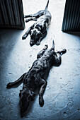 Two black dogs laying on the floor, Torremolinos, Malaga, Andalusia, Spain