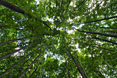 Looking up into the canopy of deciduous trees in an Ontario forest, Strathroy, Ontario, Canada