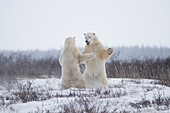 Polar bears ursus maritimus sparring in the snow during winter near Churchill, Manitoba, Canada