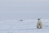 Polar bear ursus maritimus walking through the snow and ice of Hudson Bay, Manitoba, Canada