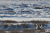 Polar bear ursus maritimus paws sticking up above the willow trees, near Churchill, Manitoba, Canada