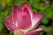 Lotus blossom, National Tropical Botanical Garden, Lawai, Kauai, Hawaii, United States of America