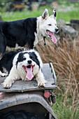 Border Collie sheepdogs sitting on the rear rack of an ATV quad bike, United Kingdom