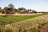 Fertile crops beside the River Nile, West Bank, Luxor, Egypt