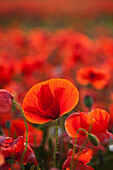 Common Poppy Papaver rhoeas covering an arable field, North Yorkshire, England