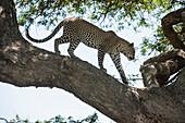 Leopard walking on tree limb near Ndutu, Ngorongoro Crater Conservation Area, Tanzania