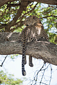 Leopard looks back over shoulder while sprawled on tree limb near Ndutu, Ngorongoro Crater Conservation Area, Tanzania
