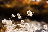 Tufts of Cottongrass Eriophorum backlit by the sun, Noatak, Alaska, United States of America