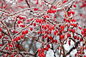Berries frozen after ice storm, Toronto, Ontario, Canada