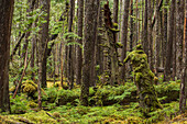 Moss grows in large clumps on the branches of the old trees within the ancient forests of Naikoon Provinical Park, Haida Gwaii, British Columbia, Canada