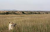 Female lion on savannah, Maasai Mara National Reserve, Kenya
