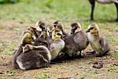 Canada Goose Branta canadensis goslings at Cheney Lake, Anchorage, Alaska, United States of America