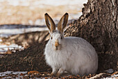 Wild prairie hare/white-tailed jack rabbit Lepus townsendii in winter fur at the foot of a spruce tree, Edmonton, Alberta, Canada