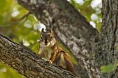 Red squirrel Tamiasciurus hudsonicus on deciduous tree branch, Edmonton, Alberta, Canada