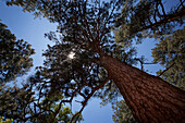Looking up beside a large Ponderosa Pine tree through the branches to the sunlight and blue sky, United States of America