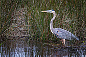 A heron standing in shallow water with marsh grass around it, United States of America