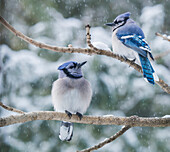 Pair of blue jays Cyanocitta cristata sitting on a tree branch in a snowfall, Ontario, Canada