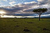 Acacia trees at sunrise, Mara Naboisho Conservancy, Kenya