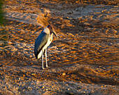 Marabou stork Leptoptilos crumeniferus on the banks of the Uaso Nyiro River, Shaba National Reserve, Kenya